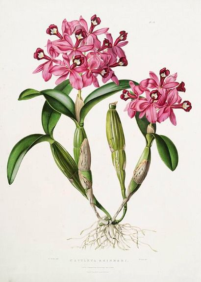 James Bateman  Cattleya Skinneri.   1837-43: Botanical Flower, Orchids Botanical, Cattleya Skinneribateman, Botanical Prints, Bateman Cattleya, Botanical Drawings, Botanical Illustrations, James Bateman, Photo