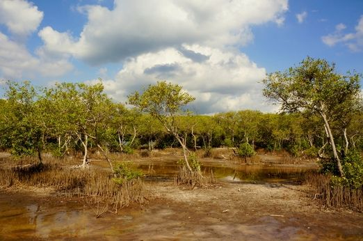 Salty plants: Mangrove forests grow at the edge of the salt lake of Gili Meno. (Photo by Raditya Margi)