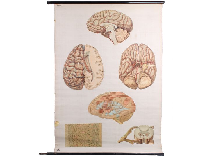 "Beautiful vintage German DDR school education poster from 1950 - 1970s. The board shows the human brain in 4 detailed views including nerves and nerve cells. The poster is rolled on a wooden oval hanging piece with a metal hook on the bottom side. Comes in good condition - the paper has a slightly yellowish patina with few damages on the paper sides. The wooden stick it is hang on has a slightly rusty hook to hang. Published by ""deutsches Hygiene Museum Dresden"""