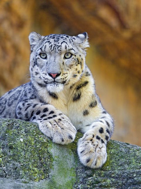 ☀Another posing snow leopard by Tambako the Jaguar