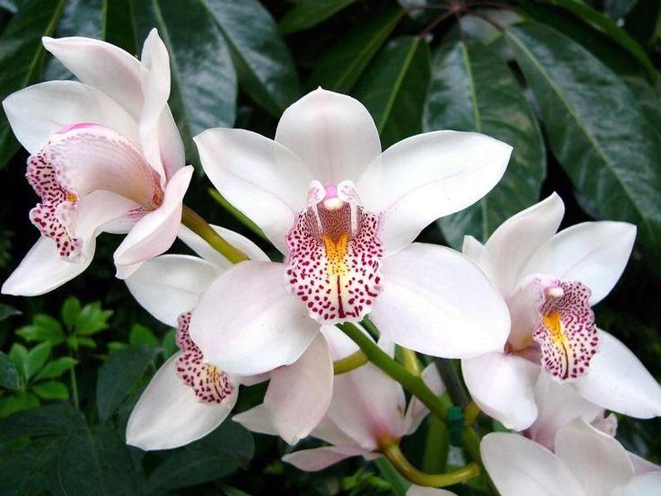 http://e-mesto.si/uploads/orhidee_-_Cymbidium.jpg