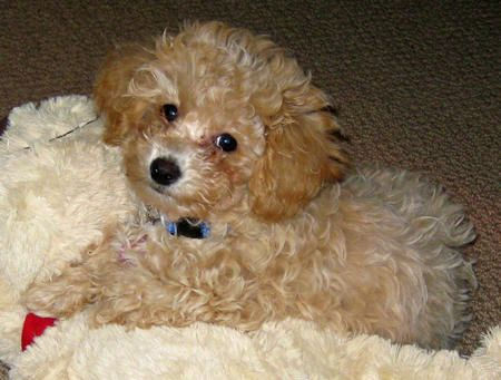 Toy Poodle   Callie the Toy Poodle   Puppies   Daily Puppy