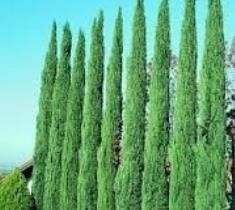 Italian Cypress Tree Cupressus sempervirens The Italian Cypress proudly shows off its tall columnar stature, coming to a shapely point at the top. They can grow up to 40 feet tall, but you can simply                                                                                                                                                                                  More