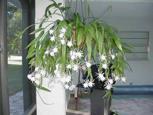 Night blooming Cereus | Night Blooming Cereus | Pinterest |Night Blooming Cereus Cactus Care