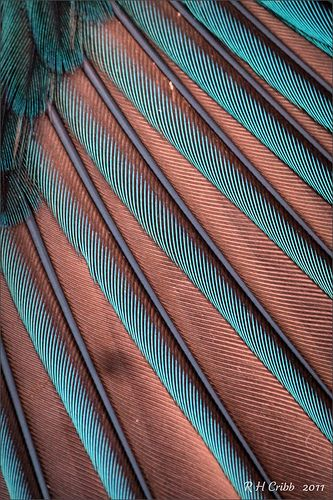 Closeup of a Kingfishers wing feathers. It sadly lost its life after flying into a cottage window in mid december, and was brought round to me to take any photos before it was buried in their garden. Here you can see how the colours change with the light . It was photographed outside in morning light. Thanks to Olly for lending me his 90mm Tamron Macro lens.