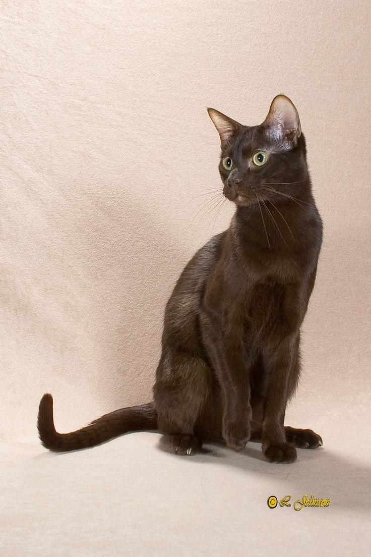77 best havana brown cats images on Pinterest | Havana brown ...
