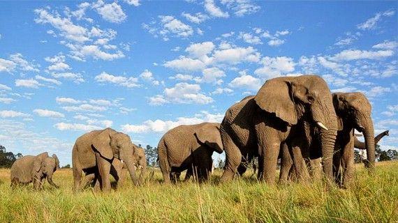 Na República Democrática do Congo, Camarões e Zâmbia o elevado risco de extinção de elefantes é já uma realidade.