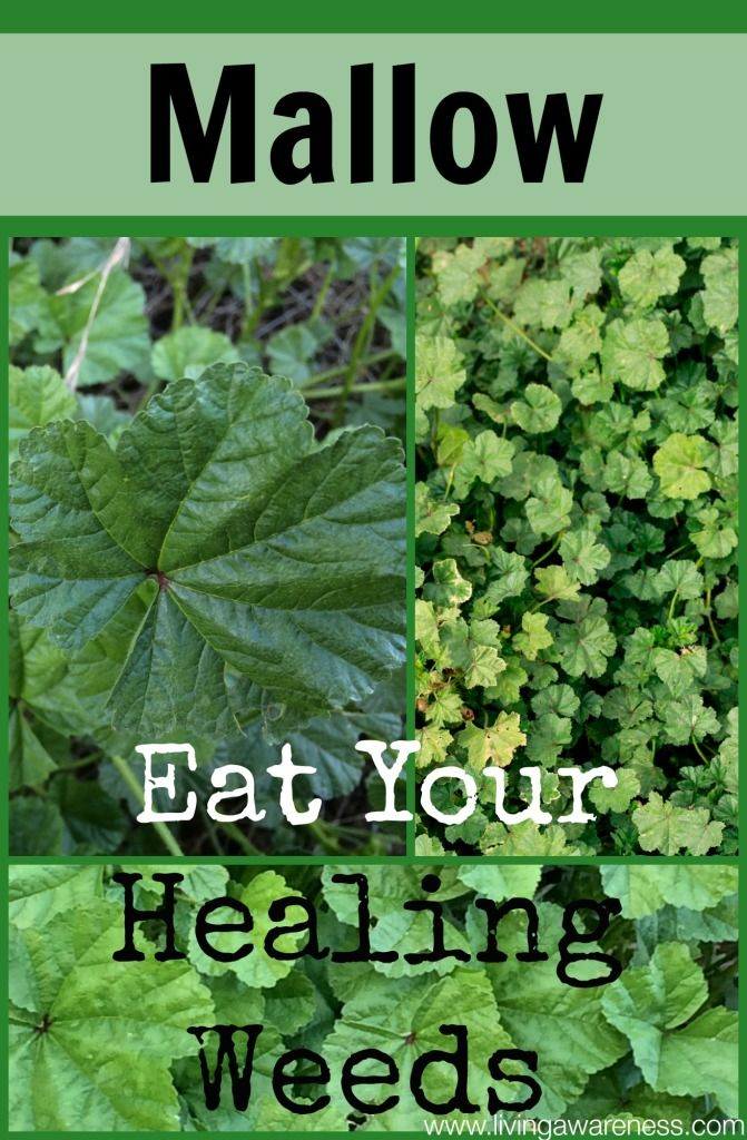 If you live near a farm, orchard or animal barn you most definitely have seen this weed. I love to gather several large leaves, mince them into tiny pieces and sprinkle them over my dinner