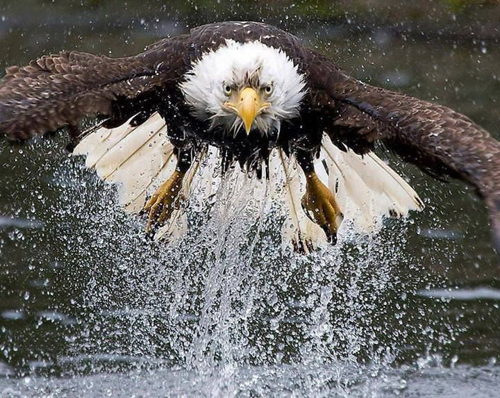 Eagle in the water.