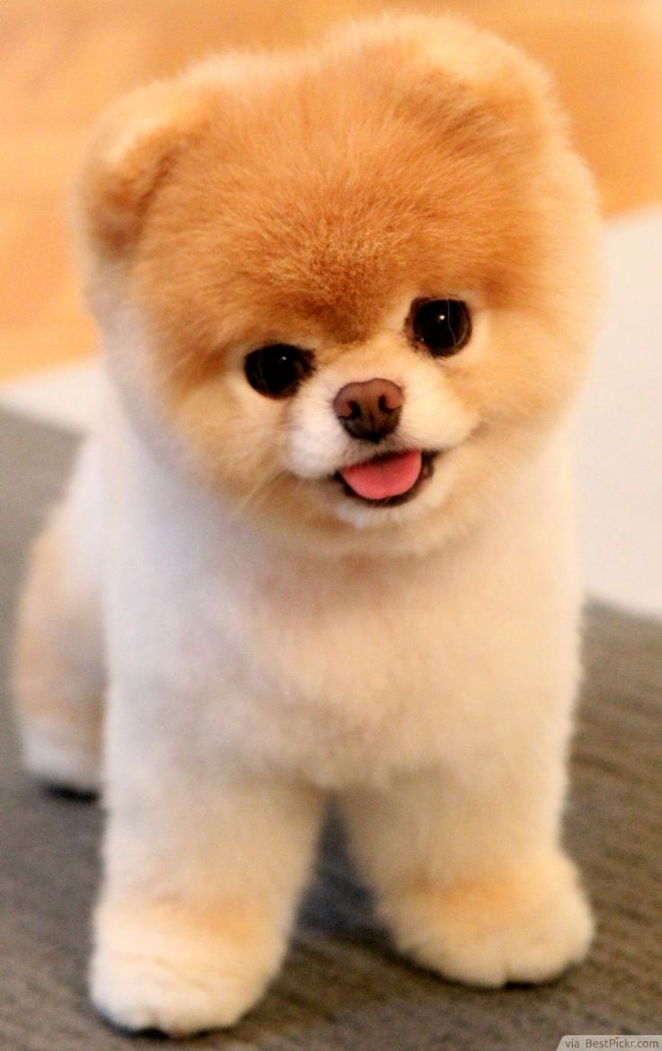Unbelievably Cute Dog - So Adorable You Can Only Smile ❥❥❥ http://bestpickr.com/cutest-dog-in-the-world-boo - Tap the pin for the most adorable pawtastic fur baby apparel! You'll love the dog clothes and cat cloth