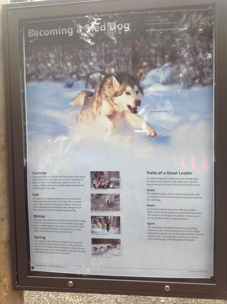 Denali Sledge Dog