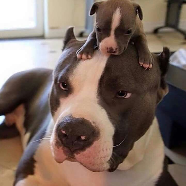 Hey, mom! Mom, mom, mom, mooooooom!!! #formyloveofpitbulls