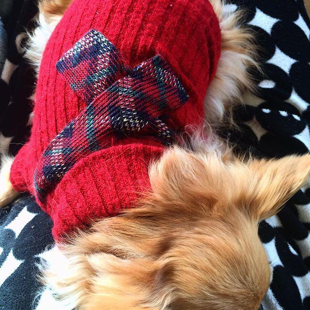 #Lulu #christmaseve #クリスマスカラー #お昼寝 #sleeping #sleepingdog #愛犬 #ロンチー #チワワ #ちわわなしでは生きていけません会 #🎁 #chihuahua #chihuahuasofinstagram #  こんにちは❣️ ルルにはクリスマスも関係ない様です…(笑)  いつもの様に私の膝の上でお昼寝です💤💤💤 さっき、なかたに亭へクリスマスケーキを、乃が美に食パンを買いに一緒に出かけたので疲れたのかな🐶💦 この赤いクリスマスカラーのニットは、ご近所の方からクリスマスプレゼントにと頂きました🎁✨ 真っ赤な服は初めてですが、なかなか良く似合っているように思います💖  ルル、ぼつぼつ夕食の準備をしたいんですが…😥😥😥