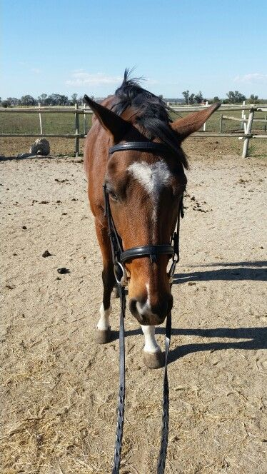 Introducing him to a bridle again -baby steps.He had no issues what so ever.