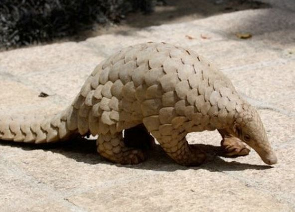 The scaly anteater, or Pangolin is an oddity in the animal world  because it is the only mammal sporting scales. With eight different species, four of them found in Africa, and four found in Asia, they all share something else. They are disappearing.