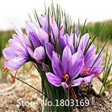Saffron plant growing corm of the genus Crocus, also known as Saffron plant crocus, Saffron plant perennial deciduous in the summer also used as ornamental fragrant plants. Grow in mediterranean clima