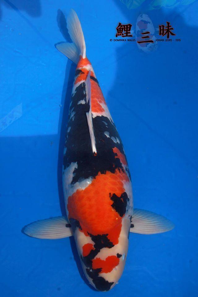 667 best koi images on pinterest koi carp pisces and fish for Koi aquaponics