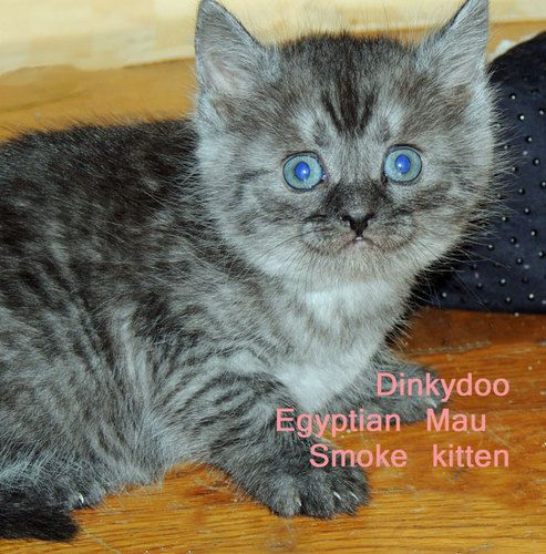 Bengal Cats Adoption Ny