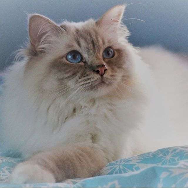 Pin By Eve Anderson On Feline Frenzy 7 Himalayan Balinese Etc Munchkin Cat Cat Noises Cats Kittens