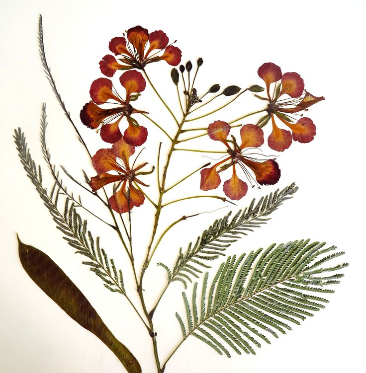 delonix regia | pressed flowers by margaret woermann