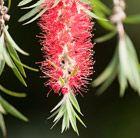 Callistemon citrinus Splendens