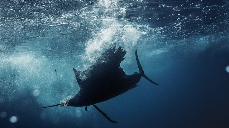 How to Use Your Boat to Catch Big-Game Pelagic Fish - Roffer's ...
