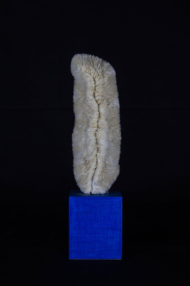[Sea series] White coral mounted on lacqued base.  [Sea series] Corallo bianco, montato su una base realizzata nel laboratorio con le antiche tecniche della gessatura, laccatura e brunitura.