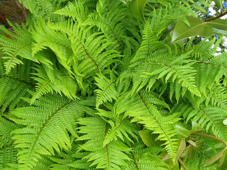 Dryopteris, the 'Male Fern', a large fern that I have found to be mostly evergreen and it grows to a good size. Handsome fronds in spring that get darker throughout the year. Take a look.
