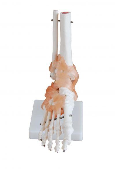 Squelette du pied avec articulations et ligaments