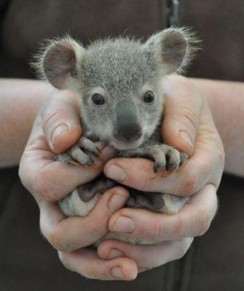 baby koala...these suckers bite hard!