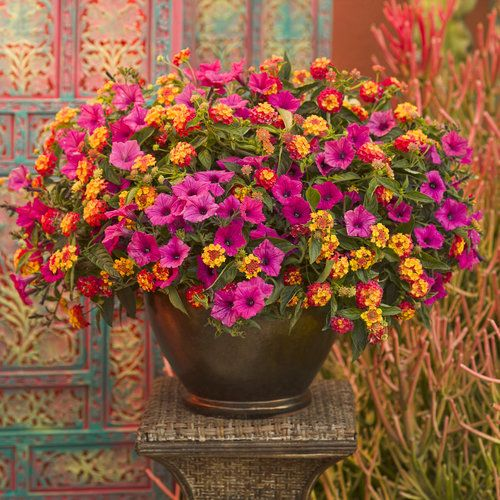 "Caribbean Day | Proven Winners - 12"" container has 2 Supertunia - Vista Fuchsia and 2 Luscious Berry Blend."