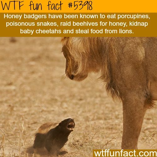 "Honey badgers - ""Hufflepuff's"" Unite!  ~WTF ""fun"" facts"