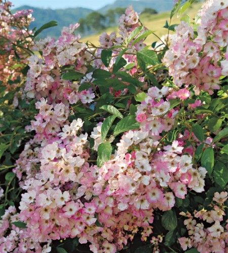 The Ballerina rose bush, a modern shrub rose, has pink              rose flowers that looks like Hydrangea heads.         The pink flowers look somewhat like apple blooms, and they put on quite a show when spring arrives.