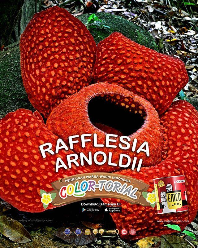 Rafflesia Arnoldii  Kawan EMCO, jika kamu sedikit mengernyitkan dahi saat mendengar nama bunga bangkai, mari menikmati flora langka ini lewat keindahan warnanya. Bunga raksasa Rafflesia arnoldii yang heboh disebut bunga bangkai ditemukan tahun 1818 di hutan tropis Sumatera oleh dua penjelajah Inggris, Dr. Joseph Arnold dan Thomas Stanford Raffles. Satu bunga ini terdiri dari lima kelopak kasar berwarna oranye dan berbintik-bintik dengan krim berwarna putih. Bunga ini bisa mekar dalam skala…
