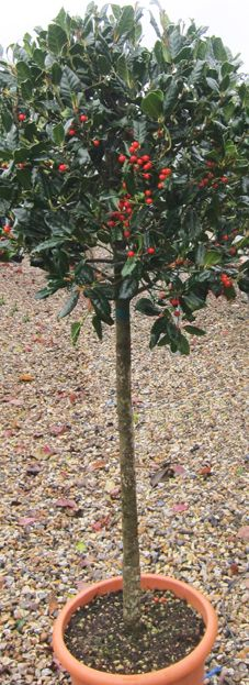 Holly tree, Ilex 'Nellie R. Stevens' standards. Red berries loved by birds and everybody else.