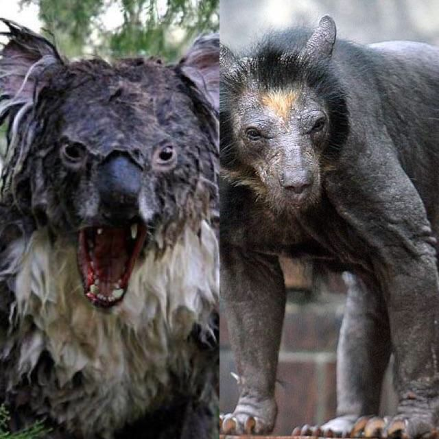 Would you rather face a wet Koala, or a Shaved Bear Tap to vote http://sms.wishbo.ne/U1ak/E8xCjBZqGB