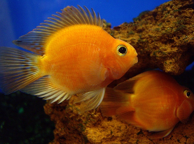 how to care parrot fish