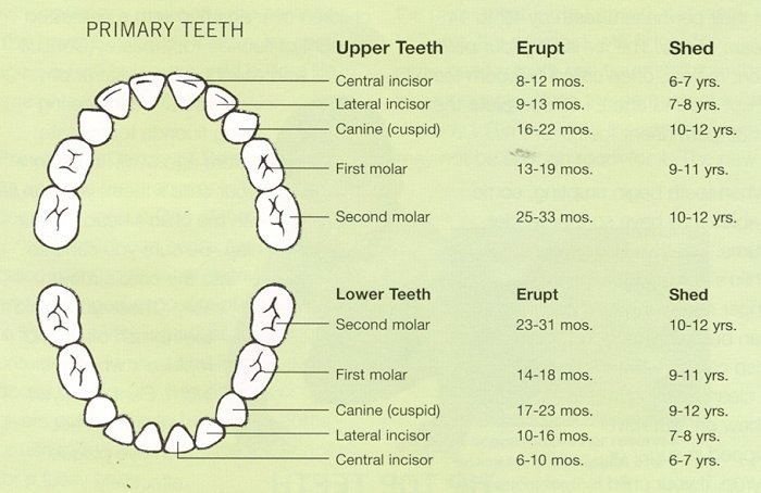 Tooth Eruption Chart - Primary - 87.4KB