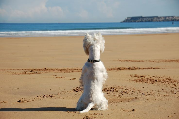 beach westie - AOL Image Search Results