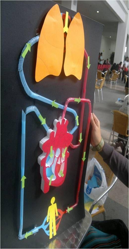 BIOLOGY, HUMAN BODY, heart model