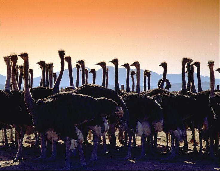 Oudtshoorn, Ostriches.