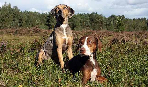 Catahoula Leopard Dog Top Working Dog Breeds For Country Living [Infographic]