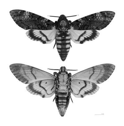 Acherontia atropos (Death's-head Hawk moth - Two views of same specimen, sex : male, place of discovery Mussidan, Dordogne, France)