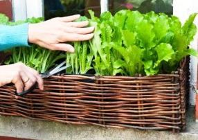 The best container gardening vegetables and herbs to grow. Some exceptional plant varieties thrive in pots.
