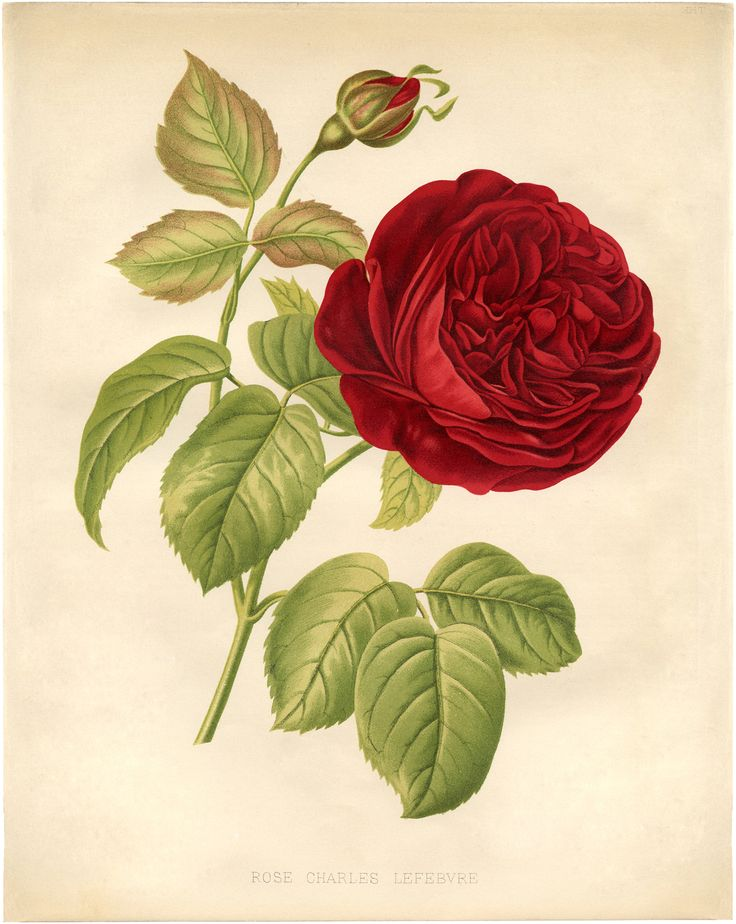 """""""Red Cabbage Rose Botanical"""" in 50 Favorite Free Vintage Flower Images - The Graphics Fairy"""