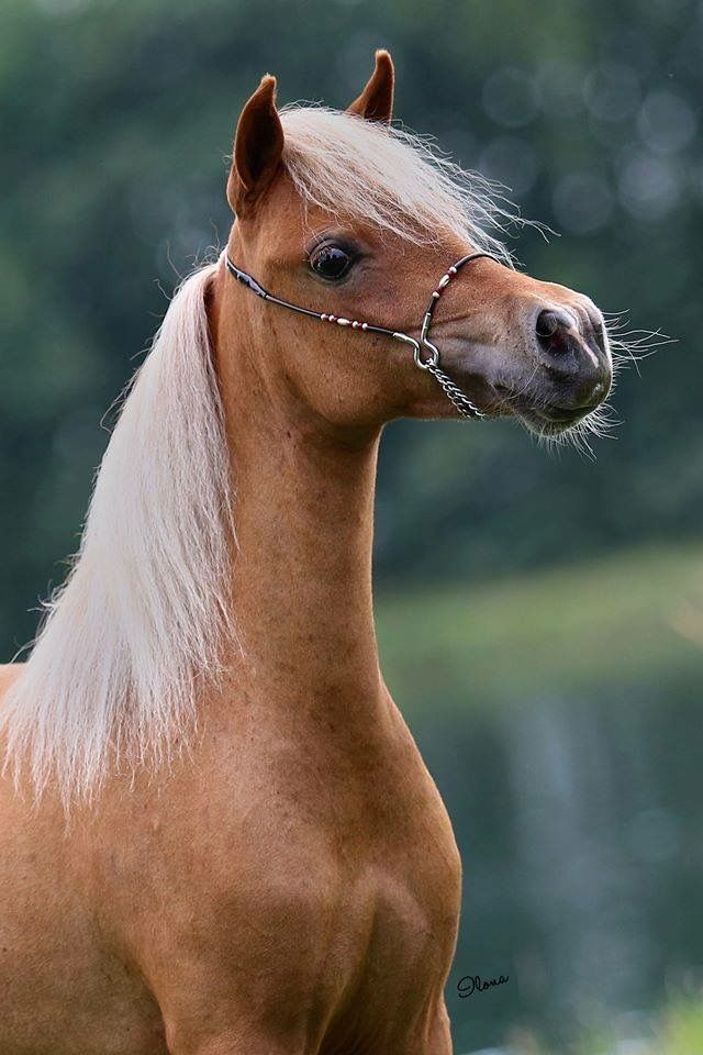 FB: SSF A Gift of Joy to Remember  American Miniature Horse filly portrait equine photography mare caballo pferd AMH amha