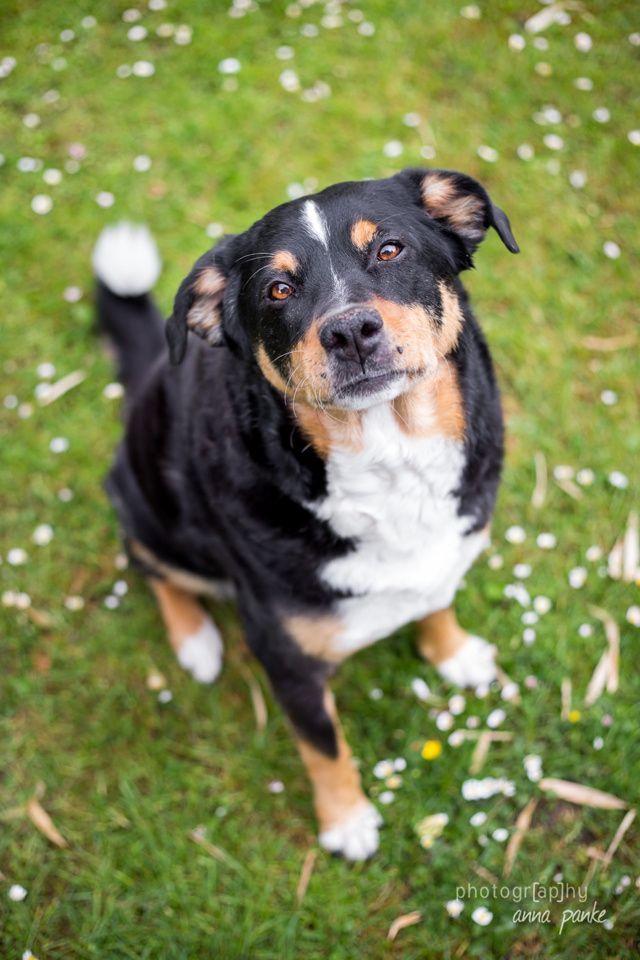 Appenzeller Sennenhund Dogs Animals Corgi