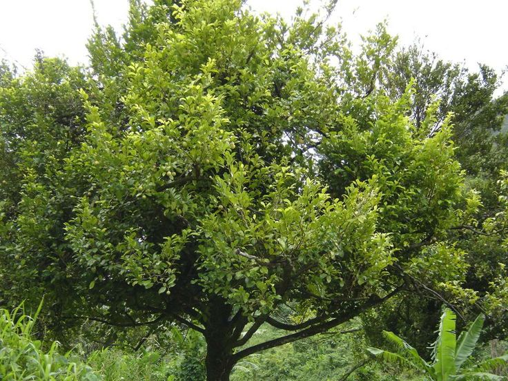 nut meg tree  http://www.treepicturesonline.com/nutmeg_tree-picture.jpg