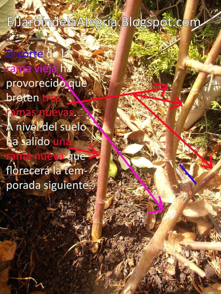 El jardín de la alegría : Como se podan los rosales trepadores (Pruning climbing roses)