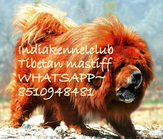 Offering Active pure breed TIBETAN MASTIFF ✌✌ PUPPY price 25000 whatsapp !!08510948481